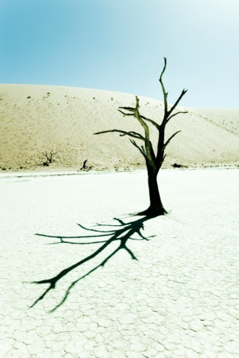 Stock Photo: 1598R-278399 Dead Tree with his shadow in the Desert. surreal scenic in this amazing unreal landscape. Sossusvlei, Dead Vlei, Namibia, Africa.2008, Canon 1Ds MK II.