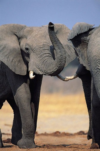 African Elephants fighting (Loxodonta africana) : Stock Photo