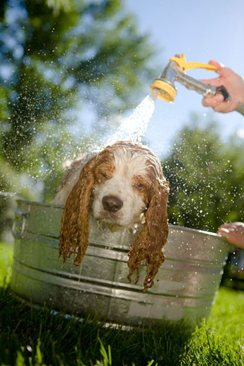 Dog being washed with sprayer in yard : Stock Photo