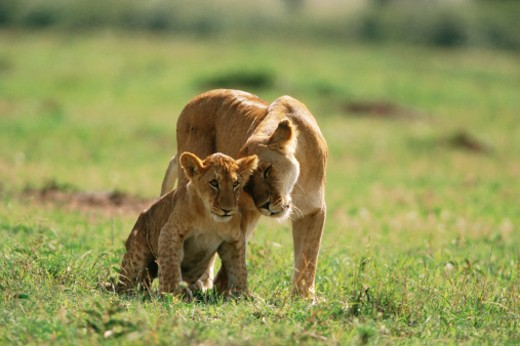 African lioness (Panthera leo) rubbing her head against cub : Stock Photo