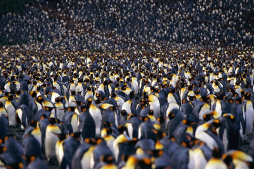 Colony of king penguins : Stock Photo