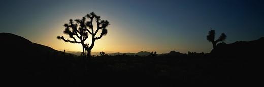 Joshua Tree National Park at sunrise : Stock Photo