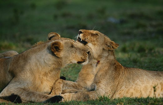 Two lionesses (Panthera leo) nuzzling with each other, close up, side view, Masai Mara, Kenya : Stock Photo