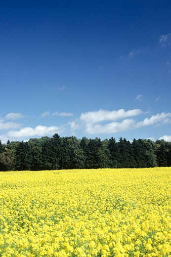 Field of rape, Ulm, Germany : Stock Photo