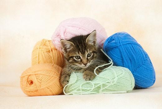 Stock Photo: 1598R-61358 Kitten lying between wool
