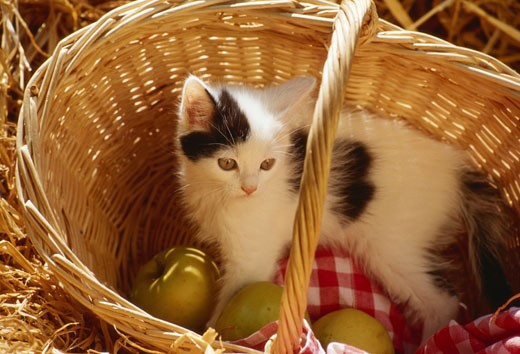 Stock Photo: 1598R-63207 Kitten lying inside basket with fruits, elevated view