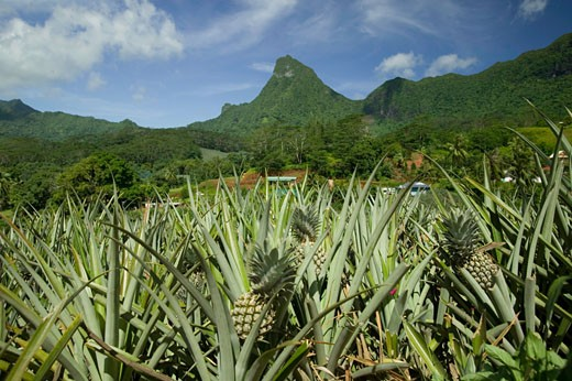 Stock Photo: 1598R-65249 Pineapples growing in the mountains