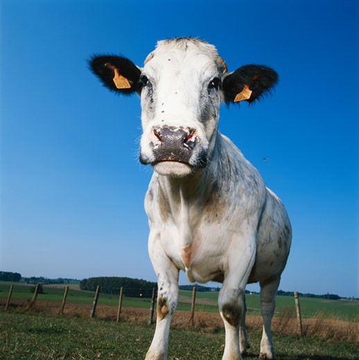 Stock Photo: 1598R-66302 Jersey cattle, low angle view