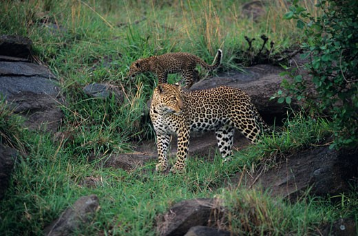 Masai Mara National Reserve : Stock Photo