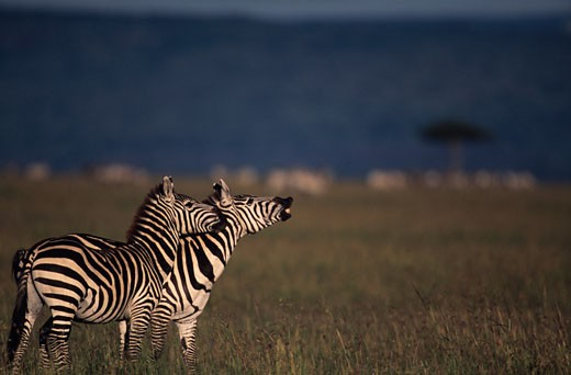 Stock Photo: 1598R-67562 Masai Mara National Reserve, Kenya