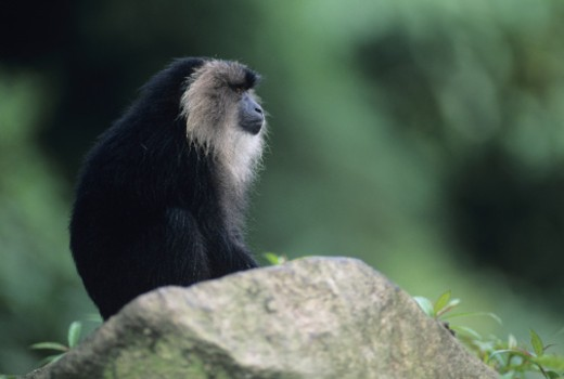 Lion-tailed macaque (Macaca silenus) sitting on rock, India : Stock Photo