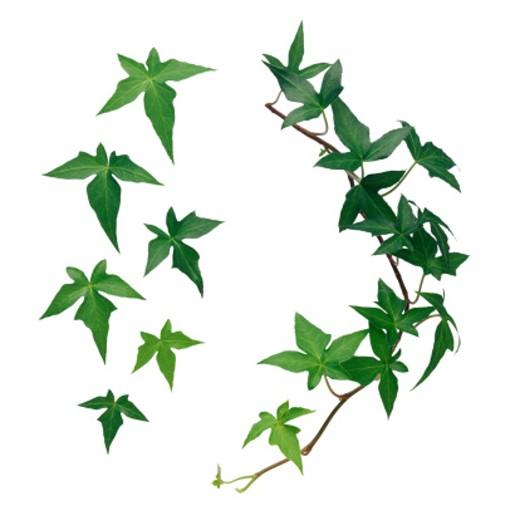 Ivy : Stock Photo