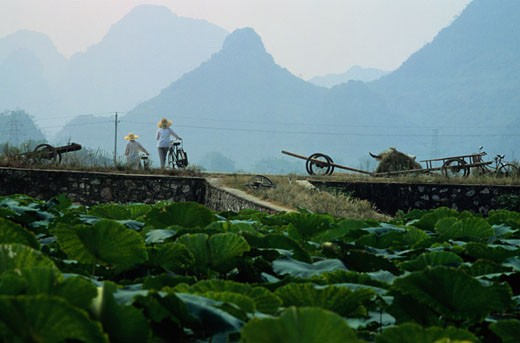 Field Workers Pushing Bicycles in Quilin, China : Stock Photo