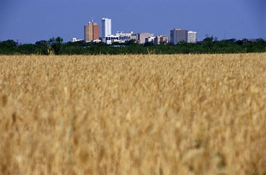 Wheat Fields and Midland, Texas : Stock Photo
