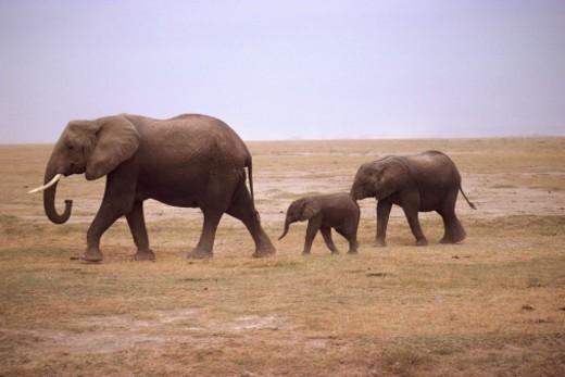 Female elephant and calves : Stock Photo