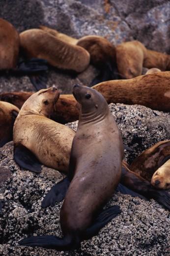 Stock Photo: 1598R-80526 Stellers sea lions on rocks