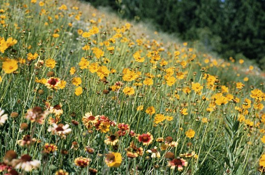Stock Photo: 1598R-84931 Hill of Wildflowers