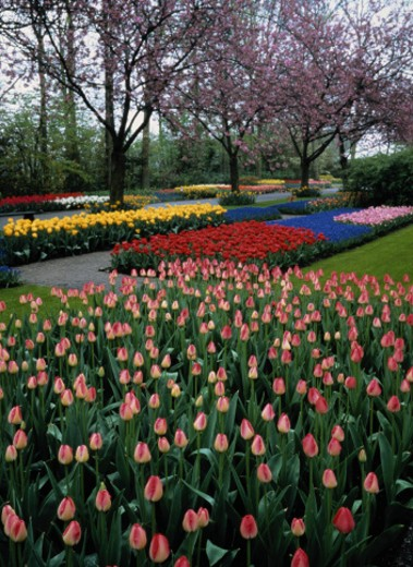 Stock Photo: 1598R-85456 Tulips in the Park
