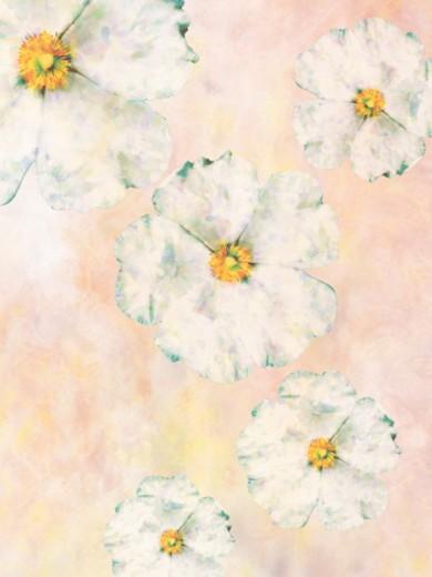 Stock Photo: 1598R-89767 White Poppies
