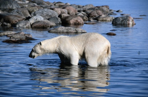 Polar Bear Standing in Water : Stock Photo