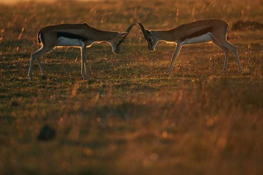 Two Thomson's gazelles (Gazella thomsonii), Masai Mara, Kenya : Stock Photo