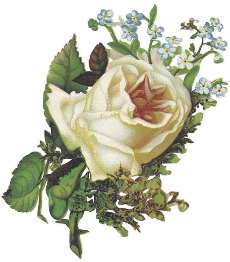 Stock Photo: 1598R-9940742 Blush rose