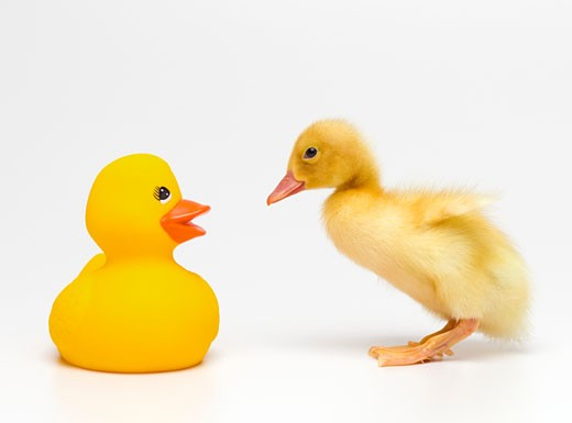 Duckling looking at rubber duck, side view : Stock Photo