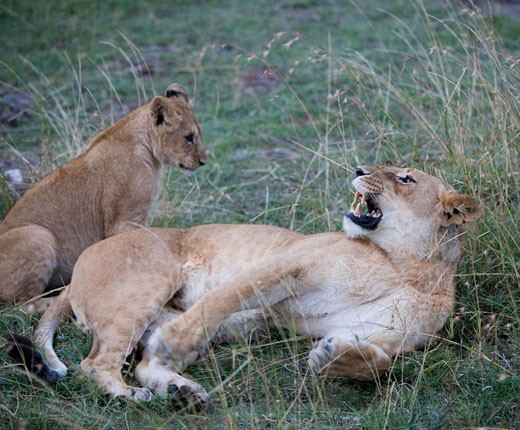 Stock Photo: 1598R-9943193 Africa, Kenya, Maasai Mara