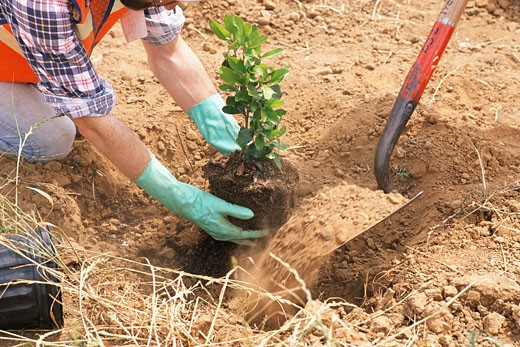 Stock Photo: 1598R-9945250 Workers planting tree