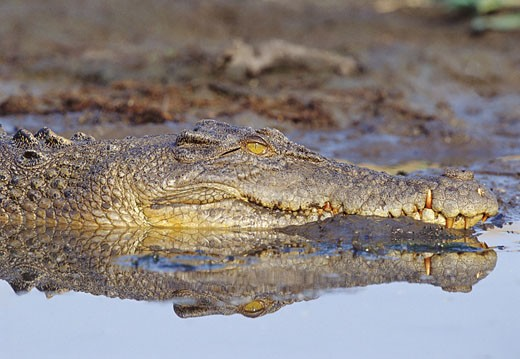 Saltwater Crocodile Lying in the Mud : Stock Photo