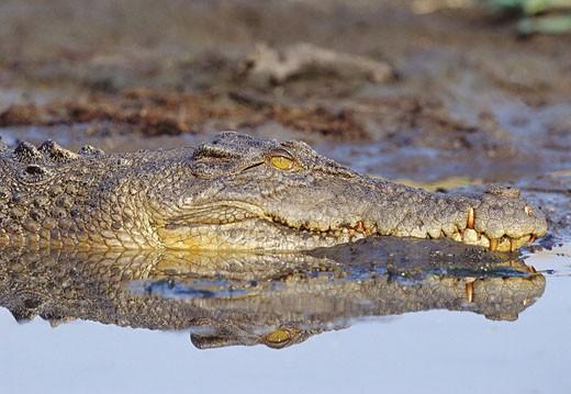 Stock Photo: 1598R-9946366 Saltwater Crocodile Lying in the Mud