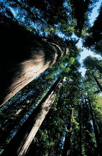 Stock Photo: 1598R-9946485 Redwood Tress, Jedediah Smith Redwoods State Park, USA