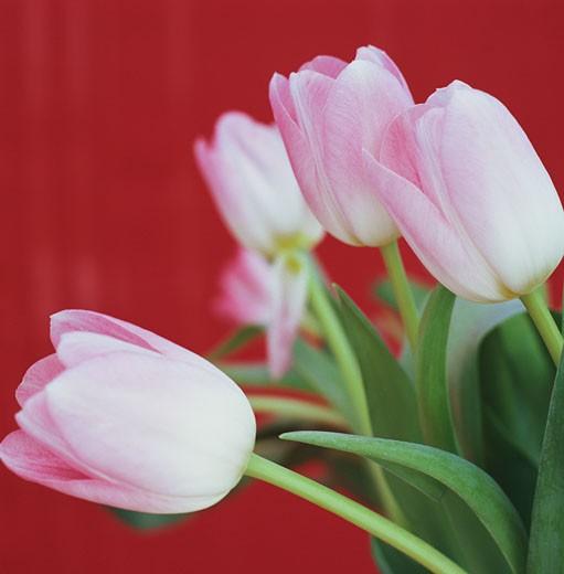 Pink tulips (Tulipa sp.) : Stock Photo