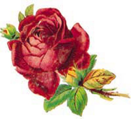 Stock Photo: 1598R-9948701 Red rose