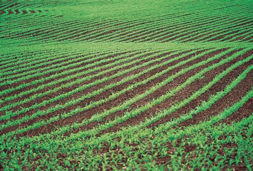 Seedlings Growing in a Ploughed Field : Stock Photo