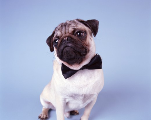 Stock Photo: 1598R-9950381 Pug wearing bow tie, close-up