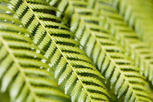 Green fern fronds (Pteridophyta), close-up : Stock Photo