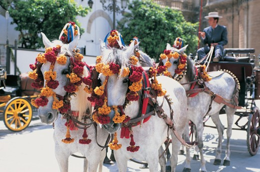Stock Photo: 1598R-9953627 Four White Horses Pulling a Horsedrawn Carriage, Seville, Spain