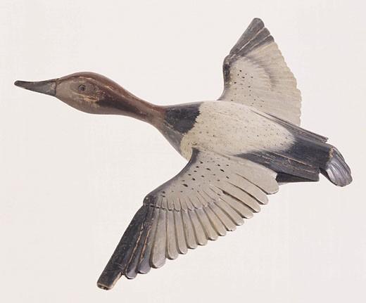 Duck in flight : Stock Photo