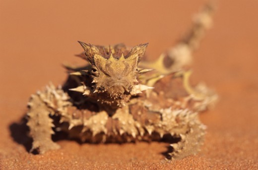 Stock Photo: 1598R-9957778 Thorny Devil, Alice Springs, Northern Territory, Australia