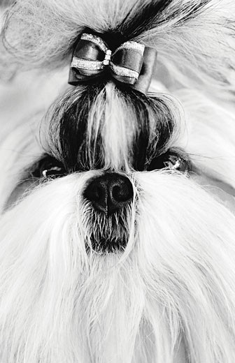Shih Tzu : Stock Photo