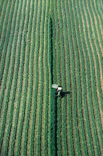 Alfalfa crop, Western Washington, USA : Stock Photo