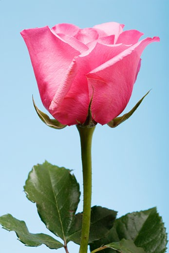 Close-up of pink rose and stem, blue background : Stock Photo