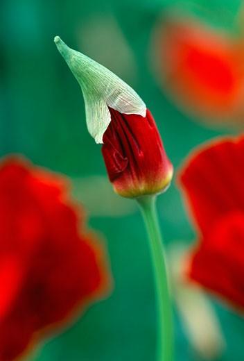 Stock Photo: 1598R-9973900 Inferno poppy, close-up