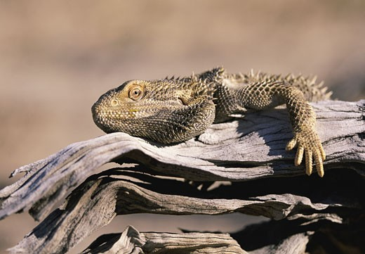 Stock Photo: 1598R-9974049 Bearded Dragon on a Branch, Simpson Desert, South Australia