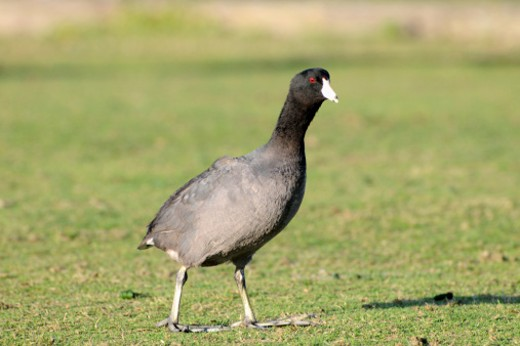 American coot, Fulica americana, grazing on grass. Mountain View, California, USA. : Stock Photo