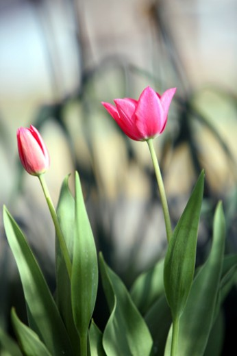 Two tulips. : Stock Photo