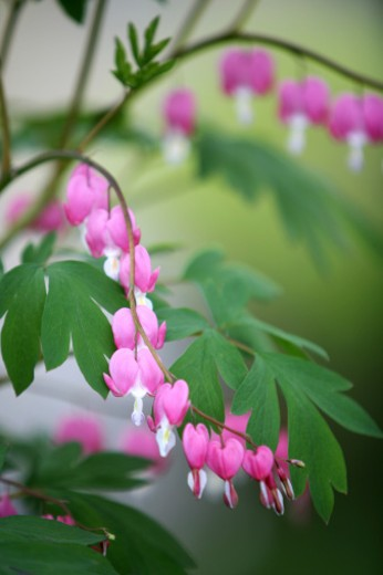 Stock Photo: 1598R-9986367 Bleeding heart flowers.