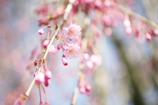 Stock Photo: 1598R-9986485 Blooming cherry tree.