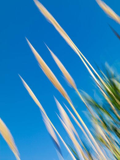 Reeds movieng agains a blue sky in Barcelona, Spain 2008. : Stock Photo